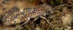 Eriocraniidae