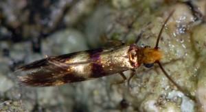 Micropterix aglaella 83 3