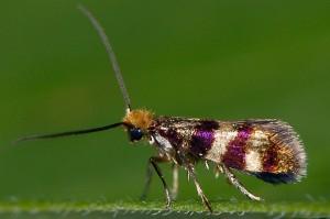 Micropterix aglaella 83 4