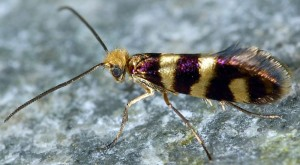 Micropterix allionella 06 2