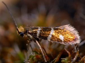 Micropterix aruncella 06 4