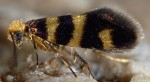 Micropterix trifasciella