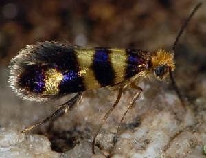 Micropterix trifasciella 38 2