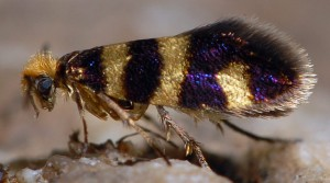 Micropterix trifasciella 38 3