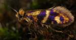 Micropterix tunbergella (I)
