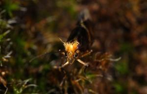 Micropterix tunbergella 05 3