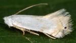 Pseudopostega crepusculella