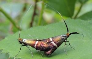 Adela australis 1