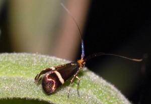 Adela australis 5