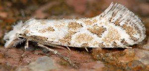 Ateliotum hungaricellum 05 4