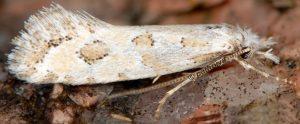 Ateliotum hungaricellum 05 7