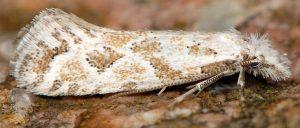 Ateliotum hungaricellum 05 8
