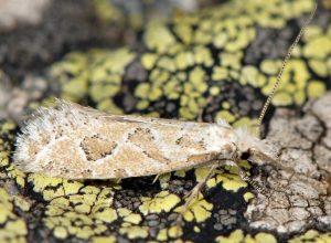 Ateliotum hungaricellum 05 9