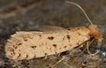 Ateliotum petrinella (I)