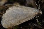 Bijugis bombycella (I)