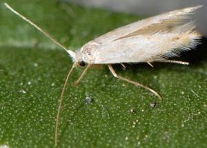 Bucculatrix absinthii 2