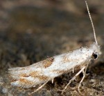 Bucculatrix albedinella (I)
