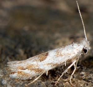 Bucculatrix albedinella 1