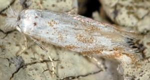 Bucculatrix albedinella 2