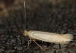 Bucculatrix alpina (I, G)