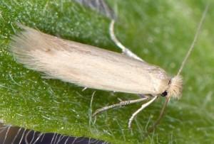 Bucculatrix cantabricella 1