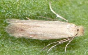 Bucculatrix cantabricella 3