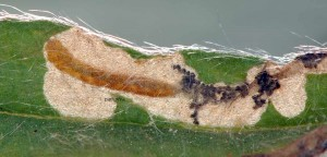 Bucculatrix cantabricella m 2