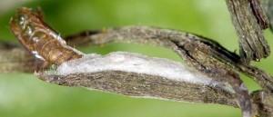 Bucculatrix chrysanthemella c 1