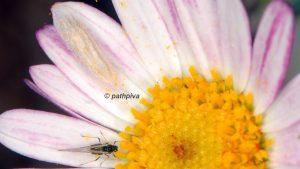 Bucculatrix chrysanthemella cocon 06 5