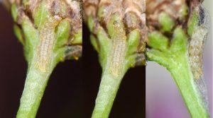 Bucculatrix chrysanthemella cocon 06 6