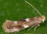 Bucculatrix cidarella (I)