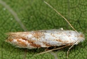 Bucculatrix frangutella 2