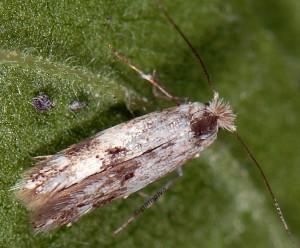 Bucculatrix humiliella 3
