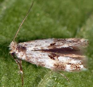 Bucculatrix humiliella 4