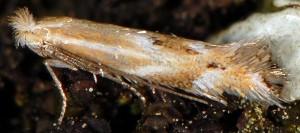 Bucculatrix maritima