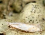 Bucculatrix ratisbonensis (I, G)