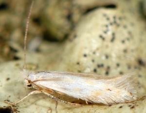 Bucculatrix ratisbonensis 1