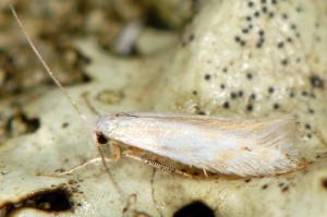 Bucculatrix ratisbonensis 2