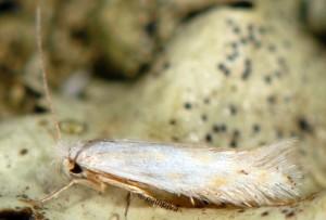 Bucculatrix ratisbonensis 3