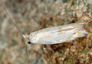 Bucculatrix ratisbonensis 4