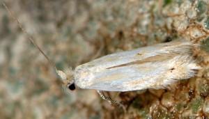 Bucculatrix ratisbonensis 5