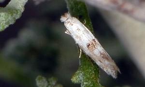 Bucculatrix santolinella 3
