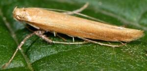 Caloptilia rufipennella 3