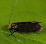 Cauchas albiantennella (I)