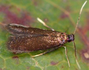 Coptotriche angusticollella 06 1
