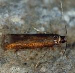 Coptotriche angusticollella (I, G)