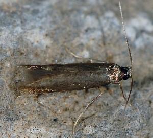 Coptotriche angusticollella 2