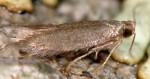 Coptotriche gaunacella (I)
