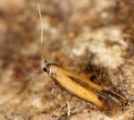 Coptotriche marginea (I)