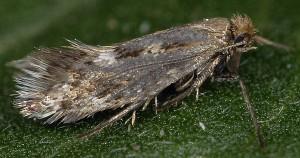 Crinopteryx familiella 1